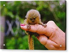 Baby Finger Monkey No Border Acrylic Print by L Brown