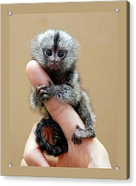 Baby Finger Monkey Tan Background Acrylic Print by L Brown