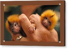 Baby Finger Monkeys Brown Border Acrylic Print by L Brown