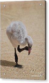 Baby Flamingo Acrylic Print by DejaVu Designs
