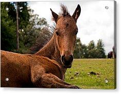 Baby Foal Acrylic Print