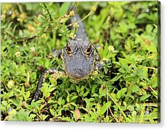 Baby Gator Acrylic Print by Adam Jewell
