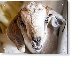 Baby Goat Face Acrylic Print