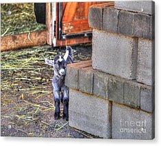 Baby Goat Acrylic Print by Jimmy Ostgard