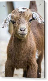 Baby Goat Acrylic Print by Shelby  Young