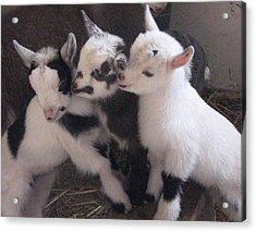 Baby Goats 1742 Acrylic Print by Carol Hoffman