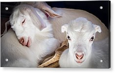 Baby Goats Napping Acrylic Print