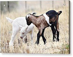Baby Goats Painting Acrylic Print by Marvin Blaine