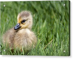 Baby Goose Acrylic Print by Optical Playground By MP Ray