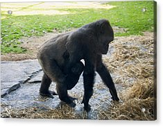 Baby Gorilla On The Move With Mom Acrylic Print