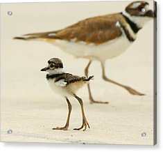 Acrylic Print featuring the photograph Baby Killdeer by Jeremy Farnsworth