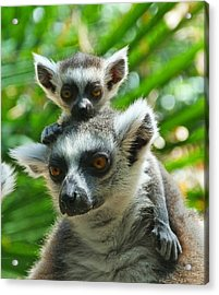 Baby Lemur Views The World Acrylic Print