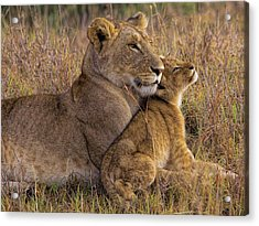 Baby Lion With Mother Acrylic Print