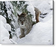 Baby Lynx Hiding In A Snowy Pine Forest Acrylic Print by Inspired Nature Photography Fine Art Photography