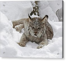 Baby Lynx In A Winter Snow Storm Acrylic Print by Inspired Nature Photography Fine Art Photography