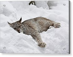 Baby Lynx Watching You Acrylic Print by Inspired Nature Photography Fine Art Photography