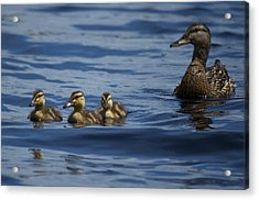Baby Mallards And Mother Acrylic Print