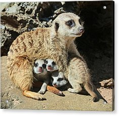 Baby Meerkats View The World Acrylic Print by Margaret Saheed