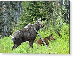 Baby Moose - Mom Acrylic Print