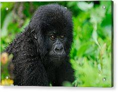 Baby Mountain Gorilla Acrylic Print