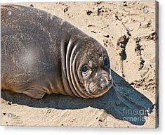 Baby Northern Elephant Seals Mirounga Angustirostris At The Piedras Blancas Beach Acrylic Print by Jamie Pham