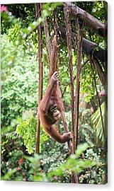 Baby Orangutan Acrylic Print by Pan Xunbin