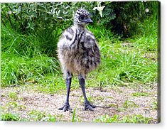 Baby Ostrich In The City Acrylic Print by Ashley Fortier