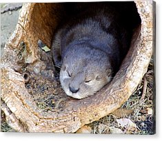 Baby Otter Acrylic Print by Mary Deal