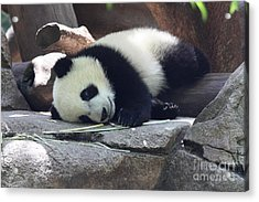 Baby Panda Acrylic Print