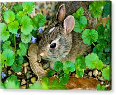 Baby Rabbit Acrylic Print