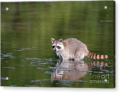 Baby Raccoon In Green Water Acrylic Print