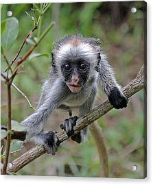 Baby Red Colobus Monkey Acrylic Print