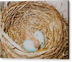 Baby Robin Acrylic Print