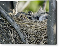 Acrylic Print featuring the photograph Baby Robins 2 by David Lester