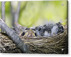 Acrylic Print featuring the photograph Baby Robins by David Lester