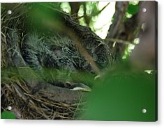 Acrylic Print featuring the photograph Baby Robins Nesting by Ramona Whiteaker