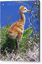 Acrylic Print featuring the photograph Baby Sandhill Crane 064  by Chris Mercer