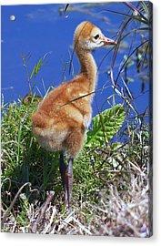 Baby Sandhill Crane 064  Acrylic Print by Chris Mercer
