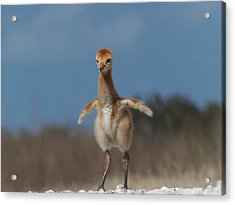 Acrylic Print featuring the photograph Baby Sandhill Crane 071 by Chris Mercer