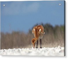 Acrylic Print featuring the photograph Baby Sandhill Crane 072 by Chris Mercer