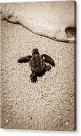 Baby Sea Turtle Acrylic Print by Sebastian Musial