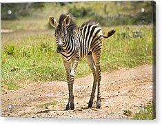 Baby Series Zebra Acrylic Print