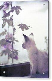 Baby Siamese Kitten Acrylic Print
