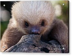 Baby Sloth 2 Acrylic Print by Heiko Koehrer-Wagner