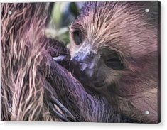 Baby Sloth Acrylic Print