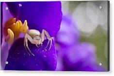 Baby Spider Macro Acrylic Print by Andres Leon