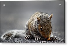 Baby Squirrel Gets A Snack Acrylic Print