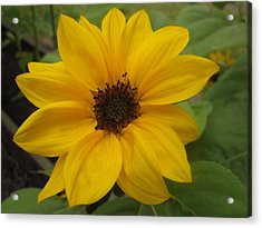 Baby Sunflower Acrylic Print