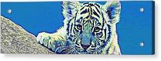 Baby Tiger- Blue Acrylic Print by Jane Schnetlage