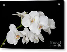 Baby's Breath Orchid Acrylic Print